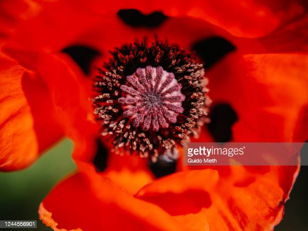 red poppy blooming outdoors. - guido mieth stock pictures, royalty-free photos & images
