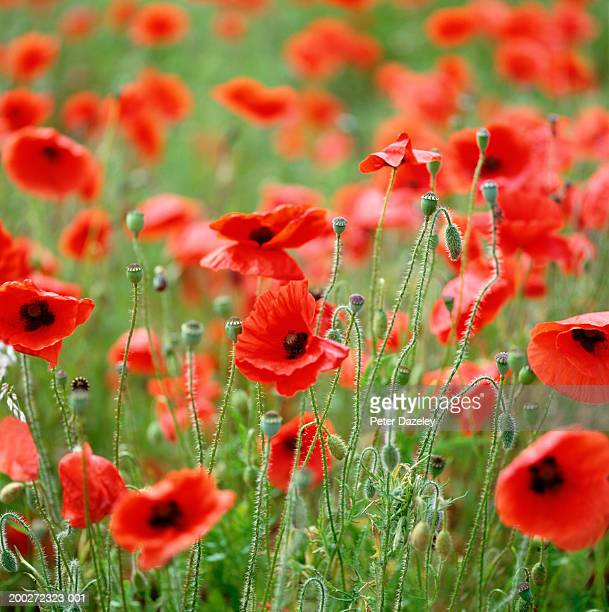 Red poppy field (Papaveraceae sp), summer