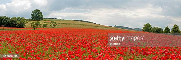 Red poppy field under cloudy sky - panorama