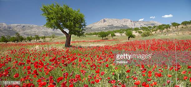 Red poppy field with an almond tree behind
