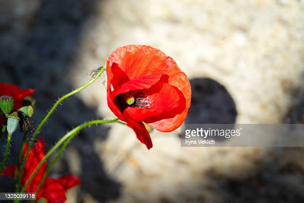 red poppy flower on nature background. - remembrance day stock pictures, royalty-free photos & images