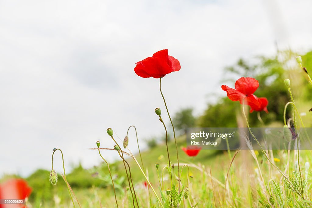 Red poppy flower on the field symbol for remembrance day stock photo red poppy flower on the field symbol for remembrance day stock photo mightylinksfo