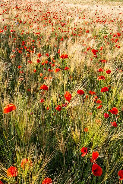 Red poppy flower wildflower meadow