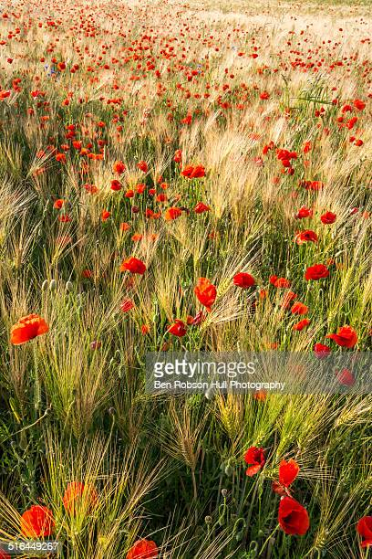 red poppy flower wildflower meadow - remembrance sunday stock pictures, royalty-free photos & images