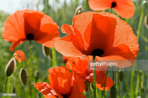 Red poppy flowers blooming in a field