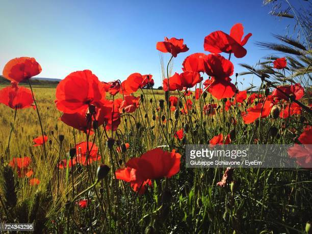 red poppy flowers blooming on field against sky - spinazzola foto e immagini stock
