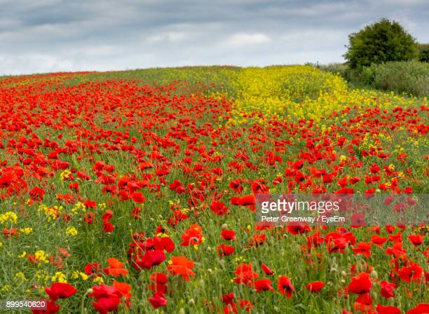 red poppy flowers blooming on field against sky - ウィルトシャー州 ストックフォトと画像