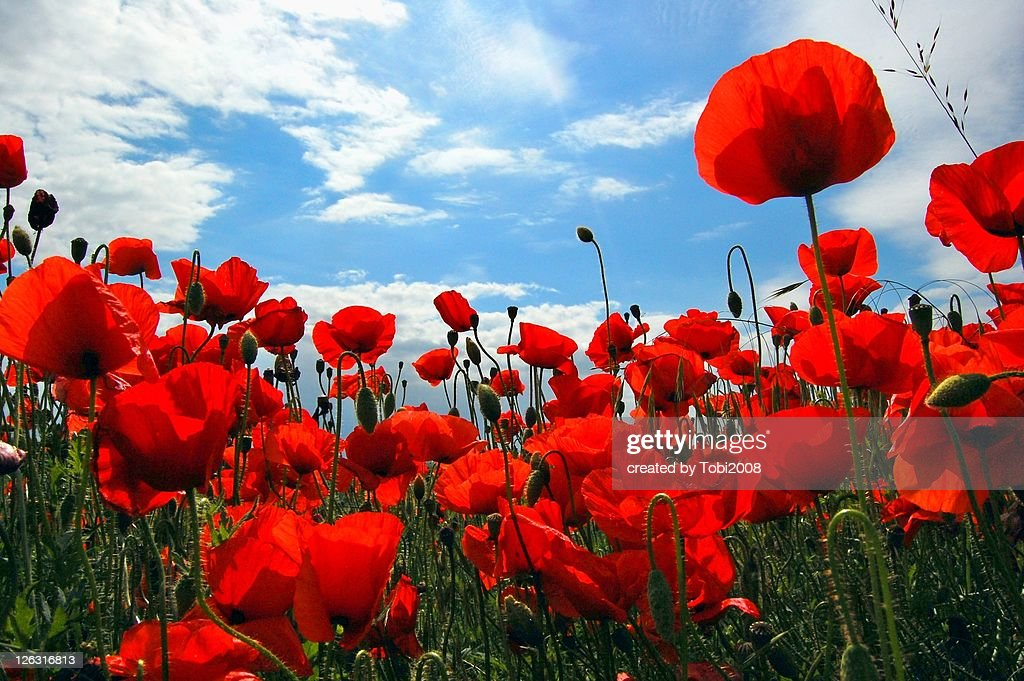 Poppy stock photos and pictures getty images red poppy flowers field mightylinksfo
