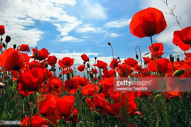 Red poppy flowers field
