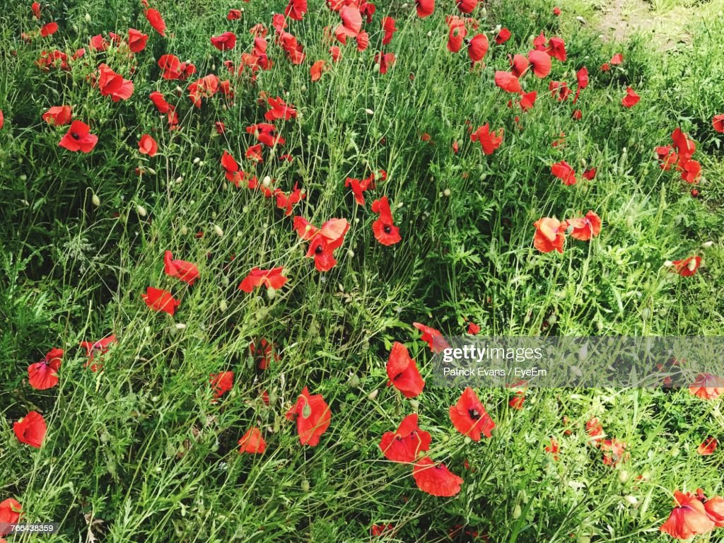 Red Poppy Flowers Growing In Field Stock Photo Getty Images
