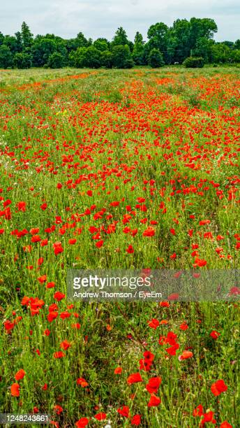 red poppy flowers growing on field - 100th anniversary stock pictures, royalty-free photos & images