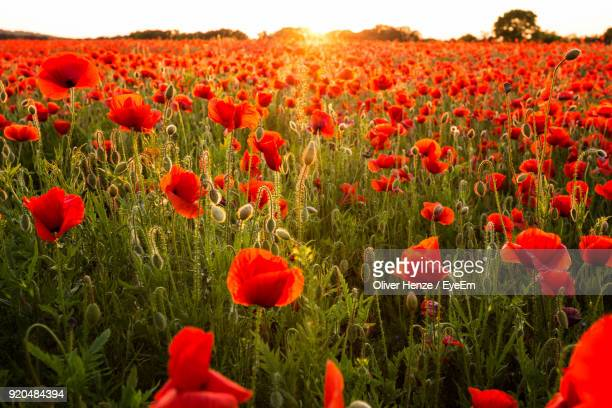 red poppy flowers in field - poppy field stock photos and pictures
