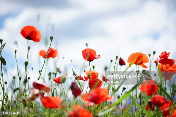 red poppy flowers in sunlight on green background. wallpaper - poppy plant stock pictures, royalty-free photos & images