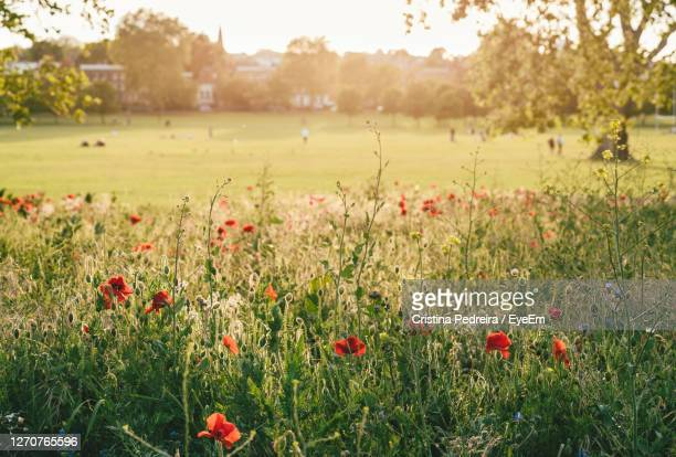 red poppy flowers on field in the sunshine - meadow stock pictures, royalty-free photos & images