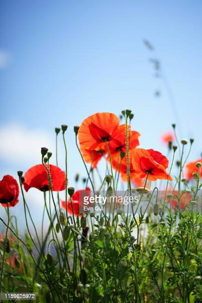 red poppy flowers with blue sky background - poppy stock pictures, royalty-free photos & images