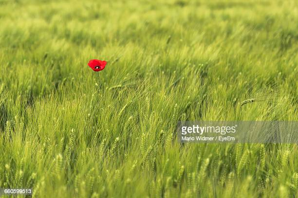 Red Poppy Growing Amidst Wheat On Farm