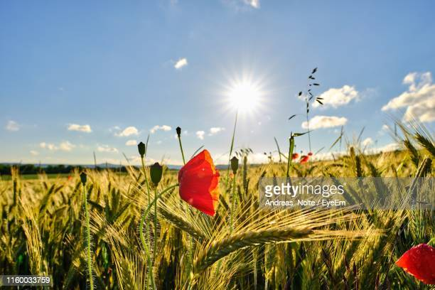 red poppy growing in wheat field against sky - andreas solar stock pictures, royalty-free photos & images