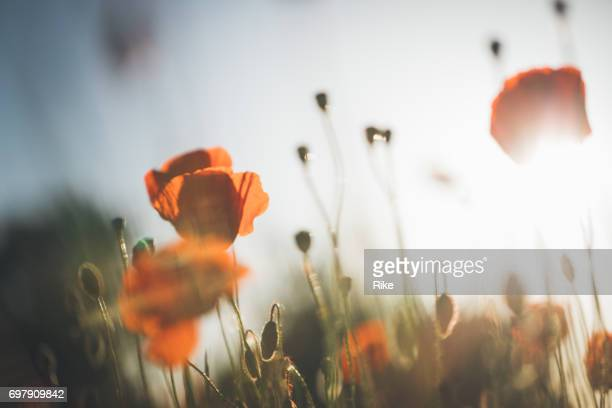 Red poppy in beautiful sunset against the dusk