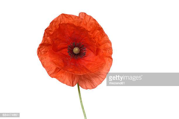 Red Poppy or Corn poppy, Papaver rhoeas, white background