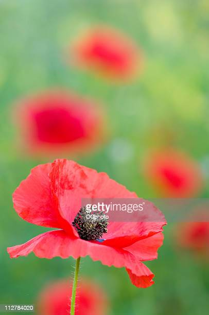 red poppy - ogphoto stock pictures, royalty-free photos & images