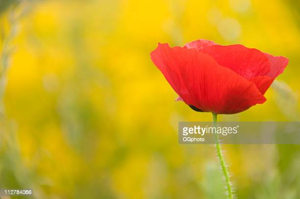 red poppy - ogphoto stock photos and pictures