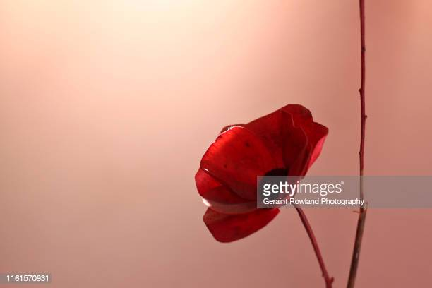 red poppy - oriental poppy stock pictures, royalty-free photos & images