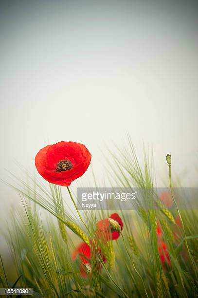 red poppy - poppy stock pictures, royalty-free photos & images