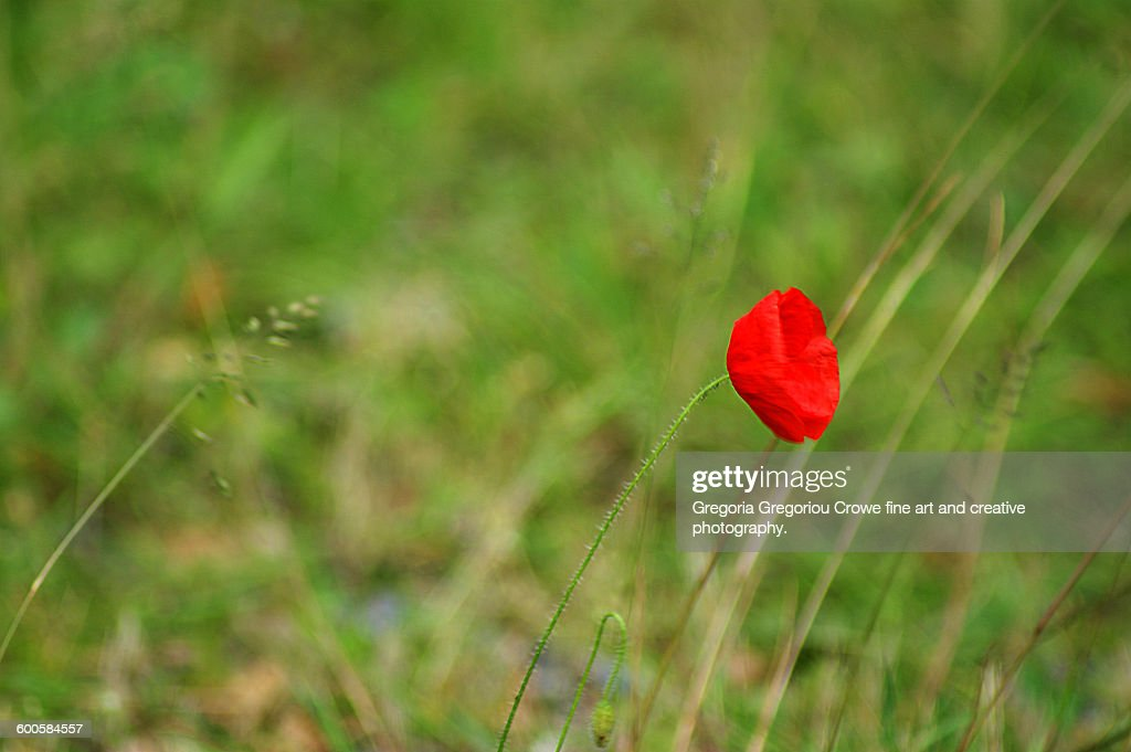 Red Poppy : Stock Photo