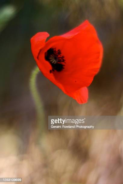 red poppy portrait - love magazine stock pictures, royalty-free photos & images