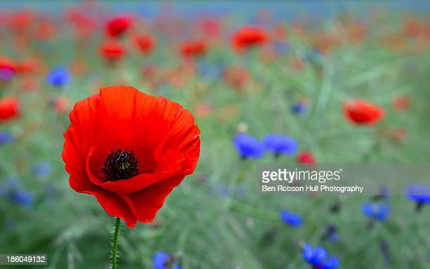 Red poppy wild flower