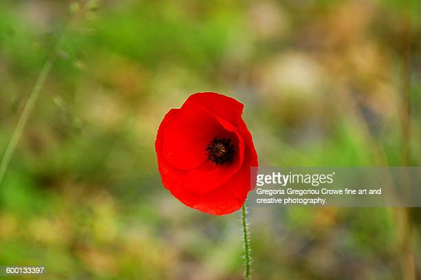 red poppy wildflower - gregoria gregoriou crowe fine art and creative photography stock-fotos und bilder
