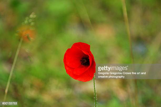 red poppy wildflower - gregoria gregoriou crowe fine art and creative photography. stockfoto's en -beelden