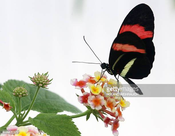 A red postman butterfly sits on a wildsage flower at the butterflyjungle of the zoo in Krefeld western Germany on March 16 2016 The zoo's tropical...
