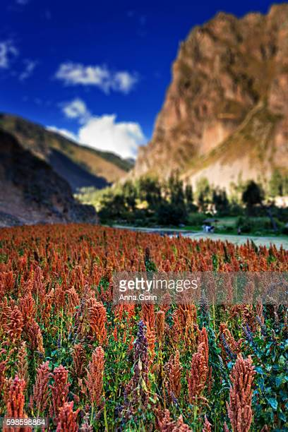 Red quinoa fields in Ollantaytambo, Peru, with Pinkuylluna mountain in soft focus in background