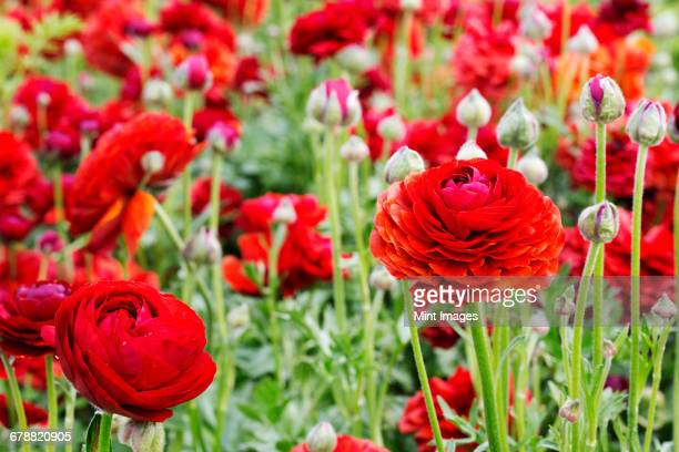 Red ranunculus flowers growing in a flowerbed.