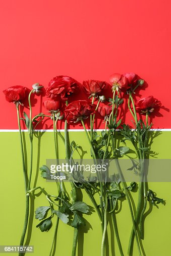 Red ranunculus on red and green background