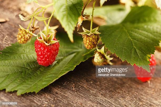 Red raspberry branch