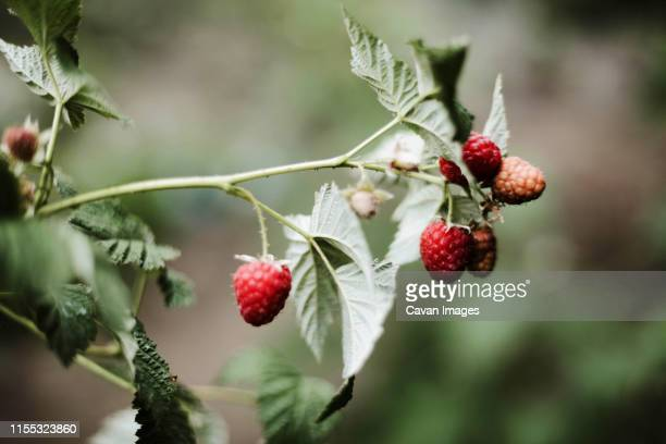 red raspberry on the vine. - branch plant part stock pictures, royalty-free photos & images