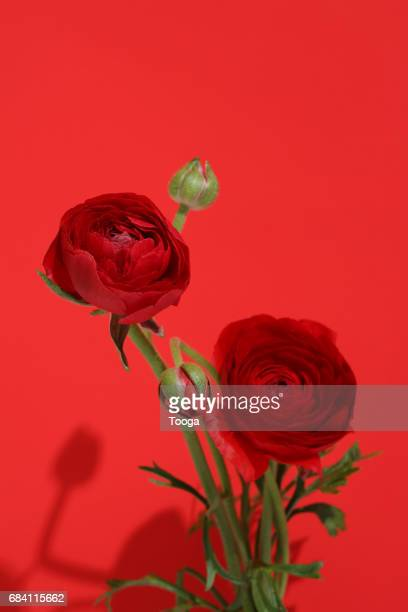 Red Red ranunculus on red background