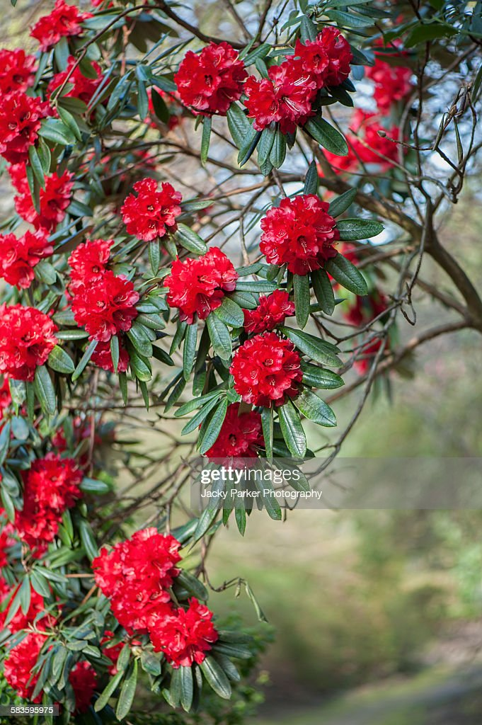 Red Rhododendron flowers : Stock Photo