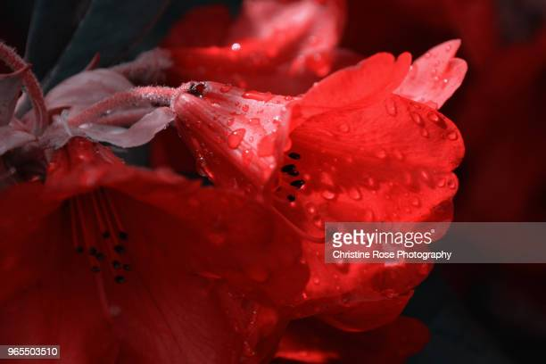 red rhododendron - christine heather stock pictures, royalty-free photos & images
