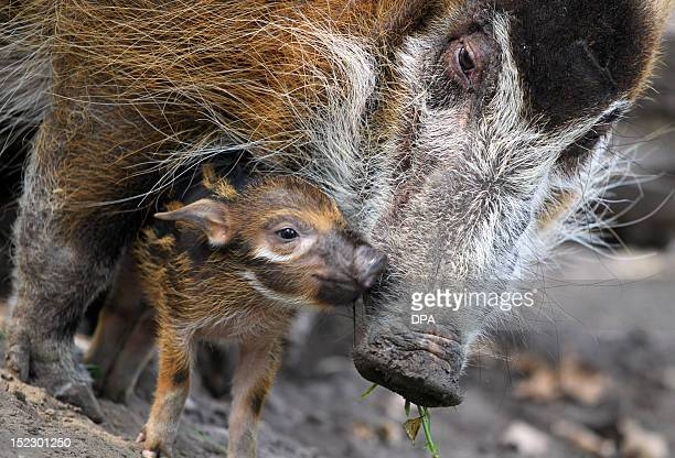 Red river hog mother Dagamba cuddles her baby Tonka on September 18 2012 at the Zoologischer Garten zoo in Berlin Tonka was born on September 1 2012...