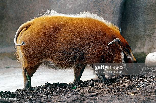 Red river hog or bushpig Suids