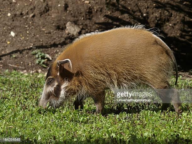 Red River Hog Potamochoerus porcus UK