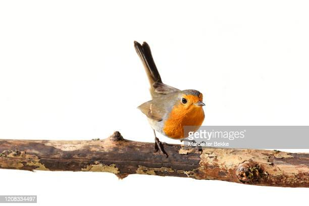 red robin on a branch - linda rama fotografías e imágenes de stock