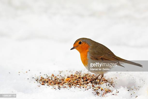 red robin picking seed