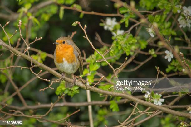 red robin - bird stock pictures, royalty-free photos & images