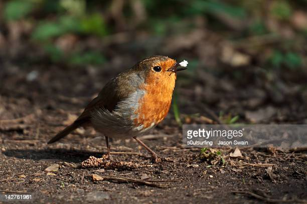 red robin - s0ulsurfing stock pictures, royalty-free photos & images