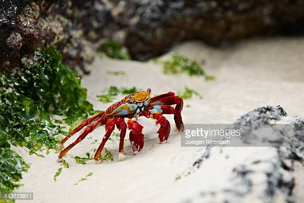 red rock crab, grapsus grapsus - puerto ayora stock pictures, royalty-free photos & images