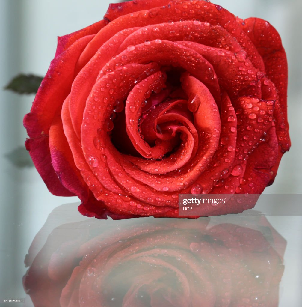 Red rose a symbol of love stock photo getty images red rose a symbol of love stock photo buycottarizona